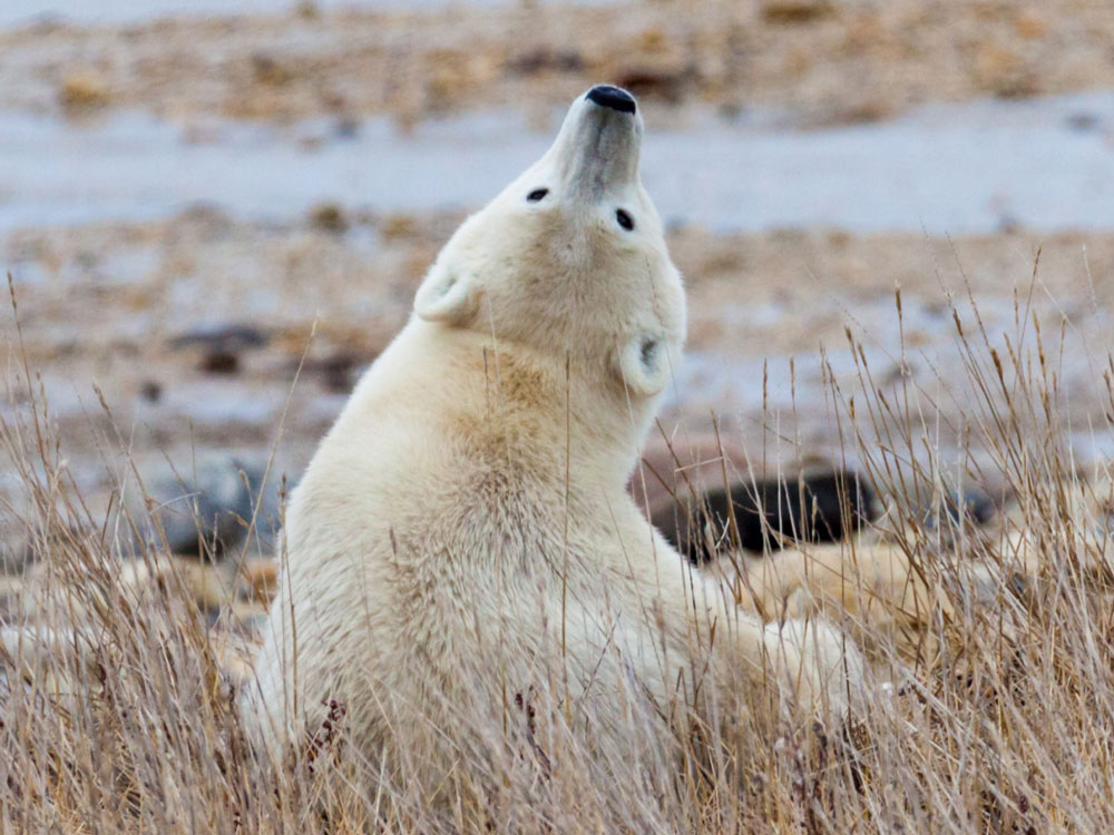 Image of a Polar Bear